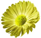 Yellow flower daisy isolated on white background. For design. Closeup. royalty free stock photos