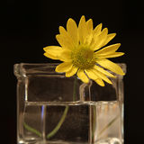 A yellow flower. A yellow daisy flower in a vase with a black background Royalty Free Stock Image