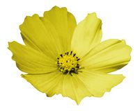 Yellow flower daisy white isolated background with clipping path. No shadows. Closeup. royalty free stock photography