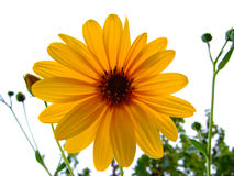 Yellow flower, dalia Royalty Free Stock Photo