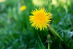 Yellow flower of dandelion against a grass Royalty Free Stock Photo
