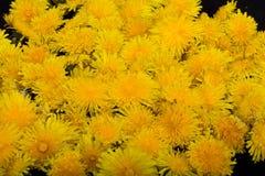Yellow flower of Dandelion Royalty Free Stock Photo