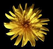 Yellow flower dandelion, garden flower, black isolated background with clipping path. Closeup. no shadows. Nature royalty free stock photography