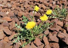 Yellow flower of a dandelion plant Taraxacum officinale aka ordinary dandelion grows between stone cobbles. The pursuit of life.  stock images