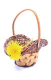 Yellow flower of dandelion in wicker basket. Yellow fresh flower of dandelion in wicker basket. Isolated on white background royalty free stock photo