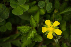 Yellow Flower on a Dark Background Royalty Free Stock Images