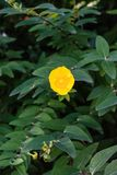 Yellow flower with dark green leaves close up front view Stock Photos