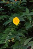 Yellow flower with dark green leaves close up front view Royalty Free Stock Images