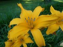 Yellow, Flower, Daylily, Lily Stock Photo