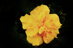 Yellow flower. Detail - macro Stock Photography