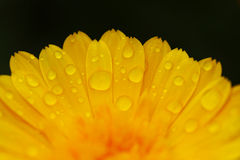 Yellow flower with dew drops Stock Photo