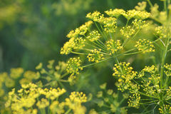 Yellow flower of dill. Yellow flower of dill in garden.Selective focus depth of field Royalty Free Stock Photography