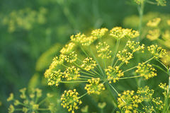 Yellow flower of dill. Yellow flower of dill in garden.Selective focus depth of field Royalty Free Stock Photos