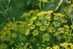 Yellow flower of dill. Yellow flower of dill in garden.Selective focus depth of field Royalty Free Stock Photo