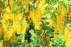 Dok Koon Thai word, yellow flower of songkran festival, Background of yellow gold flower blossom stock photography