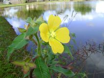 Yellow flower with down in the branches, that is born and grows in lakes and rivers. royalty free stock photography