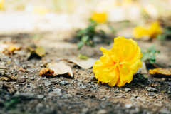 Yellow flower. Drop and amongst dry leaves on the ground Royalty Free Stock Photography