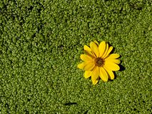 Yellow flower on duckweed. A yellow flower on duckweed in a sunny stream stock image