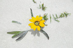 Yellow flower in the dunes of De hoop nature reserve Royalty Free Stock Image