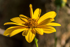 Yellow flower. The yellow flower of earth apple. They look like potatoes, but are more easy to look at. They are incredibly biodiverse, with over 4,000 native royalty free stock photography