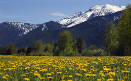 Yellow Flower Farm Snow Mountain Montana Stock Photography