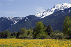 Yellow Flower Farm Snow Mountain Montana Royalty Free Stock Photography