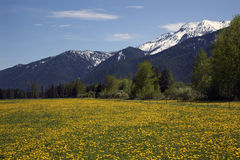 Yellow Flower Farm Snow Mountains Montana Royalty Free Stock Images