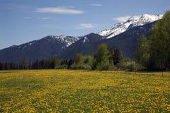 Yellow Flower Farm Snow Mountains Montana royalty free stock images