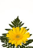 Yellow Flower with Fern. A single yellow daisy with fern on a white background with copyspace Stock Photos