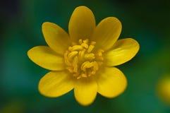 Yellow flower Ficaria verna Huds Stock Photography