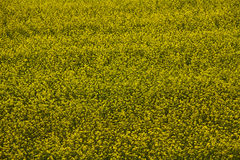 Yellow flower field. In hungary Stock Images