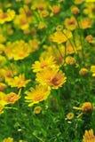 Yellow Flower in Field. Yellow daisy flower in field make u be fresh stock photography