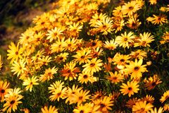Yellow flower field. Royalty Free Stock Photography