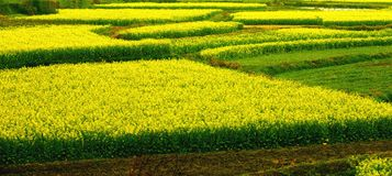 Yellow flower field. In the countryside Stock Photography