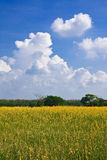 Yellow flower field and blue sky Royalty Free Stock Photos