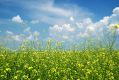 Yellow flower field with blue sky Stock Images