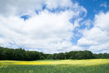 Yellow flower field with blue sky Royalty Free Stock Image