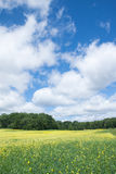 Yellow flower field with blue sky Stock Photo