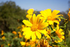 Yellow Flower field and blue sky Royalty Free Stock Images