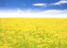 Yellow  flower in  field and  blue sky  background. Beautiful yellow  flower in  field and  blue sky  background in outdoors Stock Photography