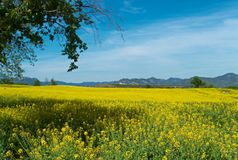 Yellow flower field and blue sky Stock Photography