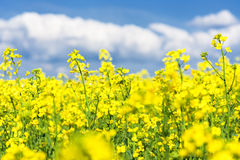 Yellow flower field and blue sky. Royalty Free Stock Image