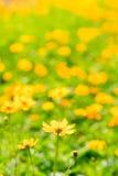 Yellow Flower Field Royalty Free Stock Photo
