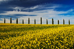 Yellow flower field with clear dark blue sky with white clouds, Tuscany, Italy. Yellow meadow with flower. Yellow bloom with cypre Royalty Free Stock Image