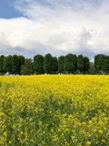 Yellow flower field with green trees and sky background. Vertical Royalty Free Stock Image