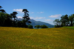 Yellow flower field killarney. Yellow flowers in killarney national park ireland Royalty Free Stock Photography