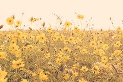 Yellow flower field meadow Royalty Free Stock Image