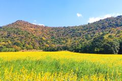 Yellow flower field Near the foothills. Yellow flower field Near the foothills stock photos