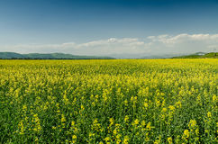 Yellow Flower Field Royalty Free Stock Image