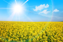 Yellow flower field in summer Stock Image